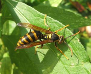 キアシナガバチ画像