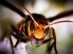 ○オオスズメバチ