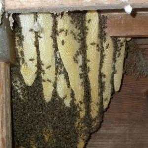 ○ミツバチ巣