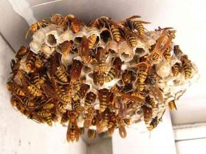 ○アシナガバチ 巣