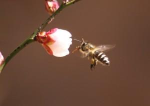 ○ウメとミツバチ