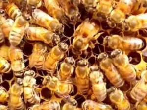 ミツバチ女王