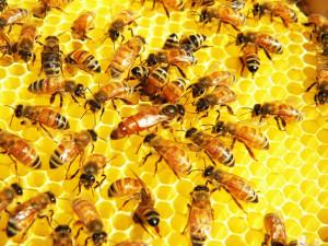 ミツバチ ハチミツ
