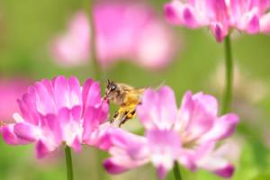 ○ミツバチ レンゲ