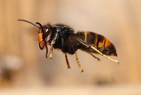 ツマアカスズメバチ- 生態と特...